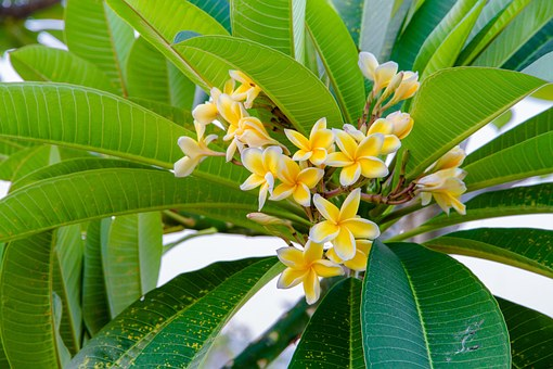 Flowers, More Information, Yellow, Frangipani