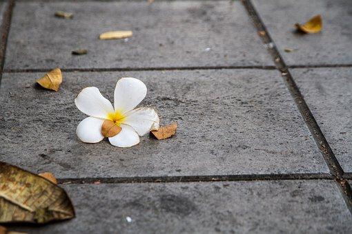 Flowers, More Information, White, Frangipani