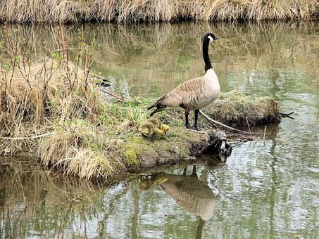 Canada Geese, Mother Goose, Goslings, Sanctuary, Canada