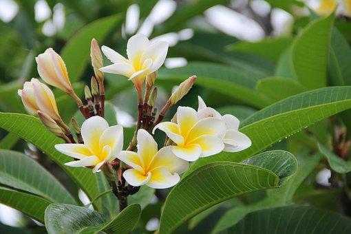 Plumeria, Frangipani, Blossom, Bloom, Flower, Nature