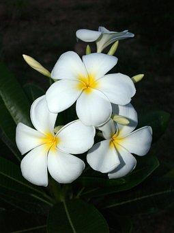 Plumeria, Closeup, Tree, Decoration, Floral, Petal