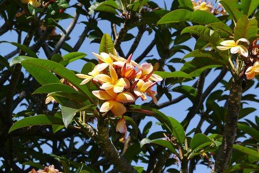 Blossom, Bloom, Flower, Yellow, Frangipani, Plumeria