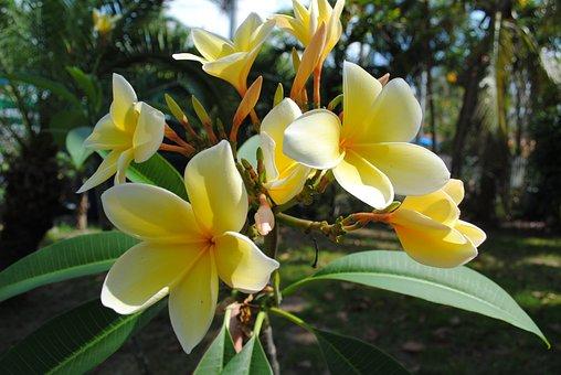 Frangipani, Plumeria, Yellow, Flower, Tropical, Nature