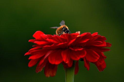 Flower, Red, Hummel, Bee, Garden, Close, Pollination