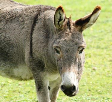 Donkey, Head, Portrait, Ears, Eyes, Beast Of Burden