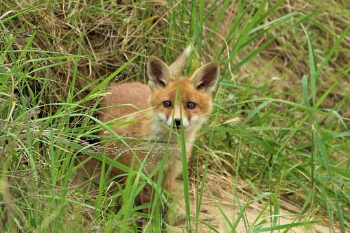 Young Fox, Red Fox, Fuchsbau, Play, Puppy, Fox Puppy