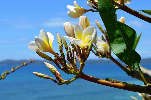 Flowers, Frangipane, Exotic, Island, Sea, Summer