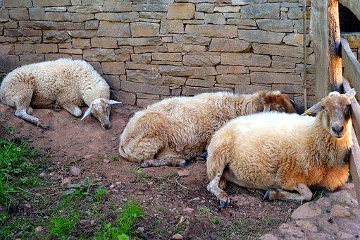 Sheep, Wool, Shearing Sheep, Herd Animal, Livestock