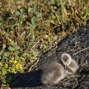 Chick, Nestling, Gosling, Barnacle Goose, Sleeps