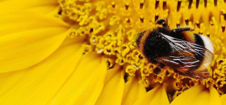 Sunflower, Hummel, Summer, Garden, Blossom, Bloom
