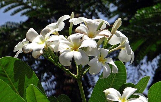 Plumeria, Frangipani, Apocynaceae, Temple Tree, Flower