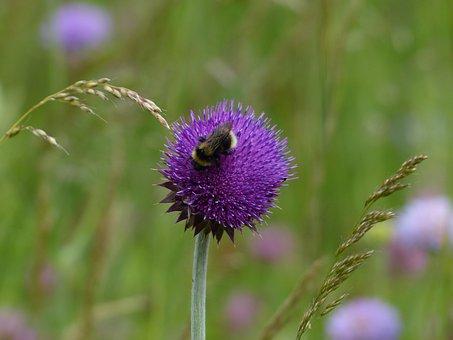 Hummel, Pollination, Cirsium Vulgare, Thistle, Flower