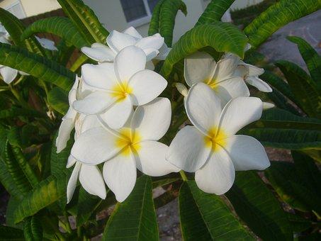 Frangipani, Flower, Plumeria, Temple Tree, White