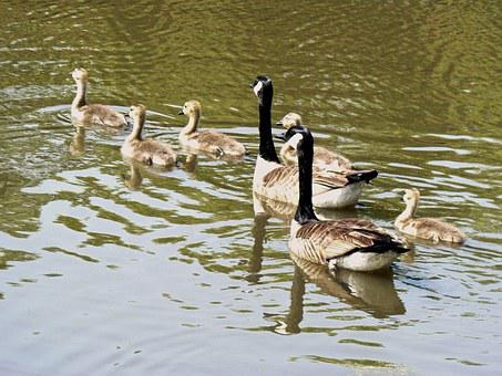 Geese, Young, Cute, Spring, Life, Wildlife, Gosling