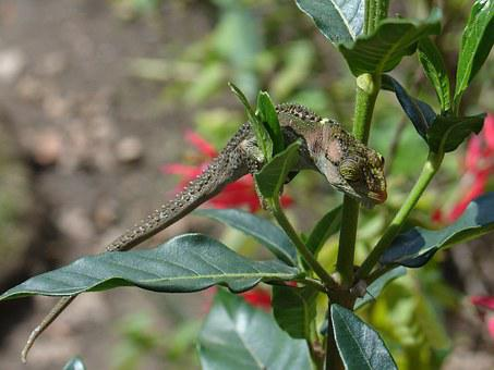 Chameleon, Plant, Nature, Green, Lizard, Animal, Leaf