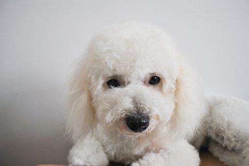 Bichon, Dog, Cute, White, Puppies