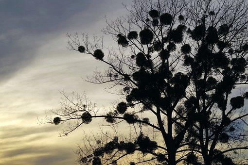 Mistletoe, Tree, The Parasite, Sunset, Colorful, Sky