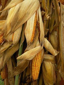 Cornstalks, Corn, Harvest, Fall, Autumn, Yellow, Crop