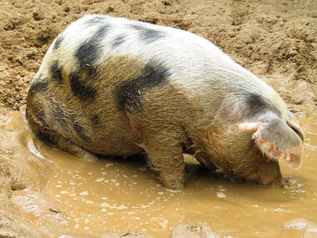 Pig, Domestic Pig, Farm, Dirty, Wallow