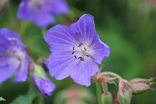 Geranium Pratense, Meadow Cranesbill, Flower, Blue