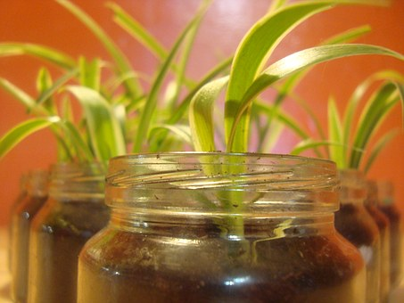 Spider Plant, Houseplant, Glas, Growing, Plant, Natural