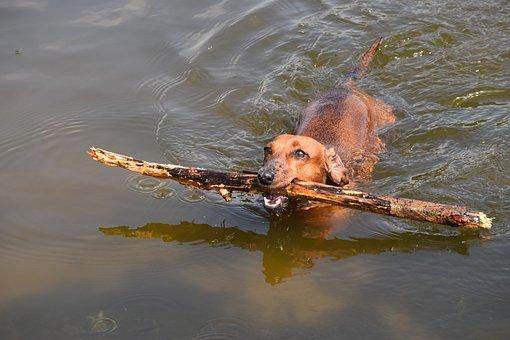 Dachshund, Dog, Water, Fun, Love