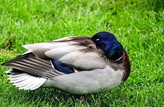 Duck, Animal, Sleeping Duck, Bird, Meadow