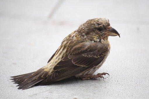 Crossbill, Bird, Closeup, Nature