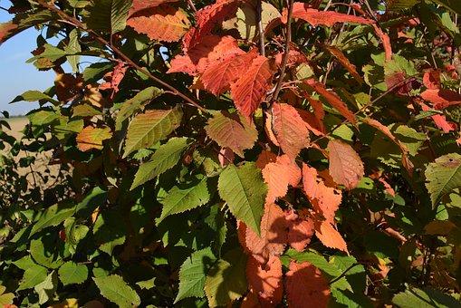 Autumn, Leaves, Nature, Season, Autumn Leaves, Plant