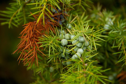 Juniper, Berry, Green, Nature, Plant, Detail, Needles