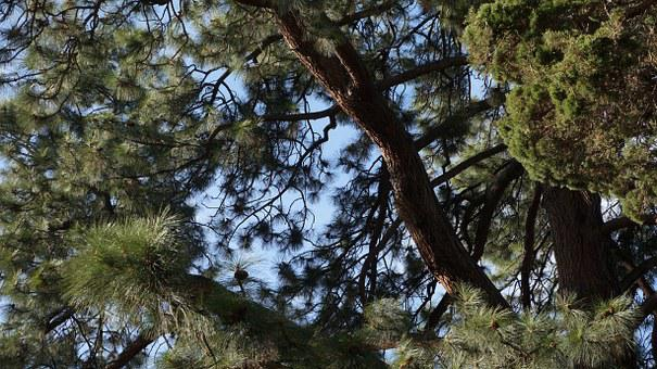 Branches, Tree, Juniper, Pine, Branch, Nature, Plant