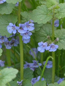 Ground Ivy, Flower, Blossom, Bloom, Plant, Wild Flower