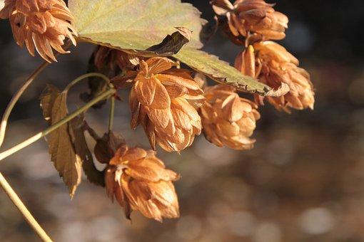 Beer, Flowers, Hops, Humulus, Lupulus, Plants