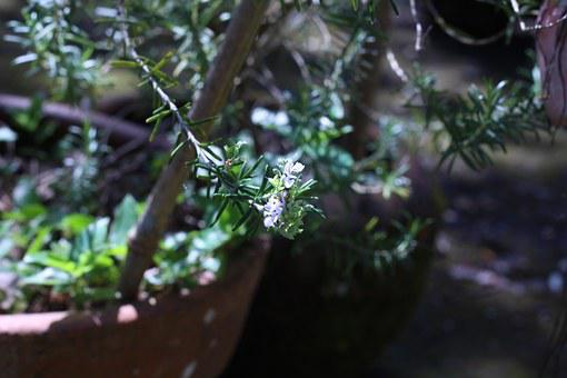 Rosemary, Flower, Green, Purple, Lilas, Garden, Leaves