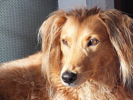 Dogs, Crossbreed, Saluki