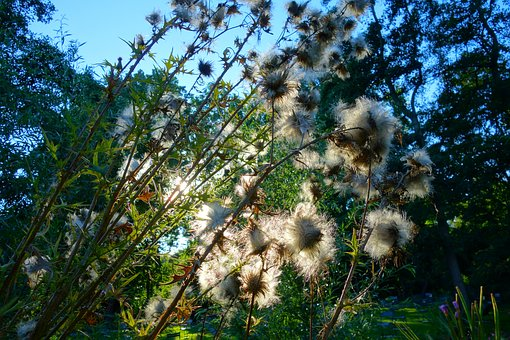 Thistle, Thistle Down, Plant, Flower, Seed, Down