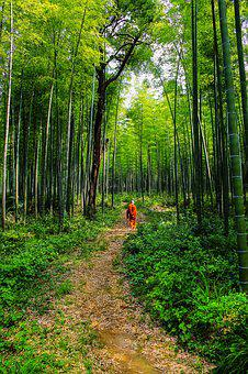 Theravada Buddhism, Monk In Bamboo Forest, Lone Monk