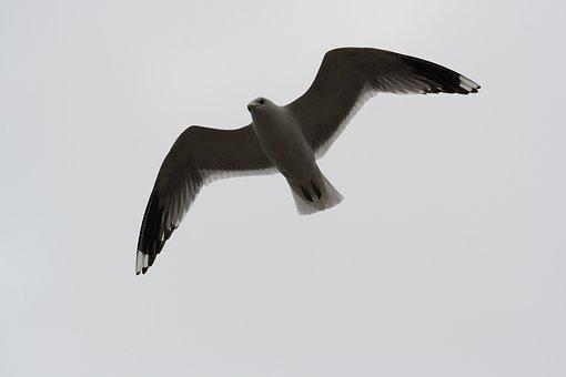 Bird, Seagull, Fly, Wings Outspread