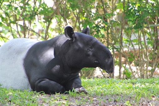 Tapir, Animal, Tapirus, Mammal, Nose
