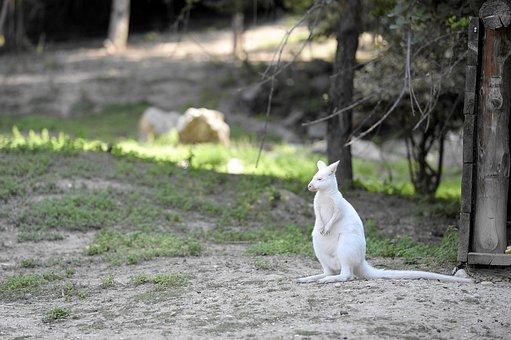Albino, Kangaroo, Animal, Zoo, Rarely, Creature