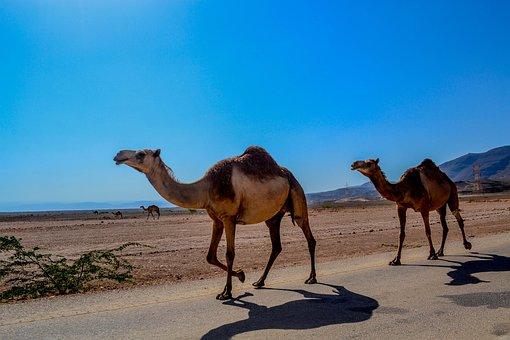 Camel, Animal, Salalah, Oman, Arabian, Peninsula