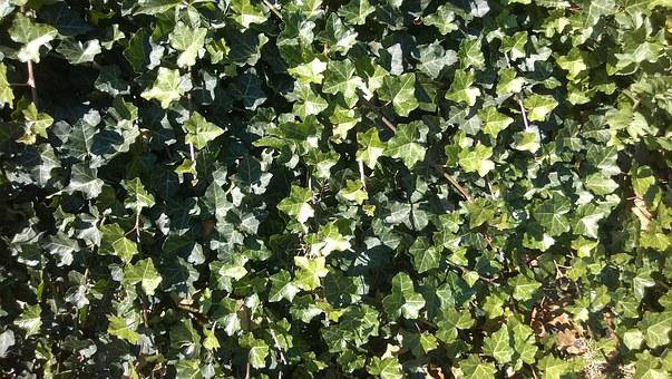 Ivy, Climber Plant, Plant, Groundcover, Background