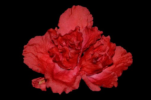 Flower, Begonia, Pink Flower, Close Up