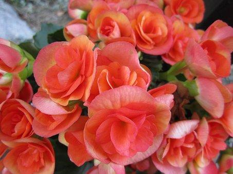 Begonia, Flower, Blossom, Bloom, Pink