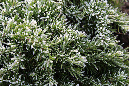 Ground Cover, Green, Garden, Bush, Plant, Nature, Frost