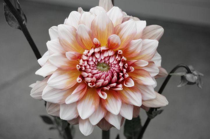 Dahlia, Pink, Summer, Nature, Blossom, Petal, Flower