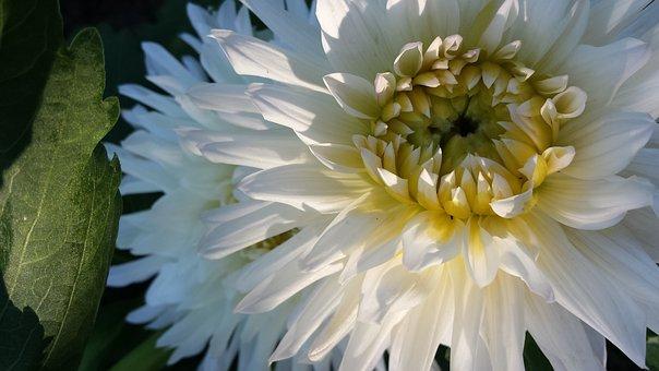 Flowers, Dahlia, White Flowers, Garden, Summer