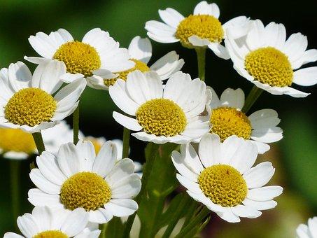 Chamomile, Scentless Chamomile, Flower, Blossom, Bloom