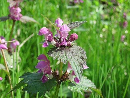 Dead Nettle, Plant, Flowers, Purple, Flower, Nature