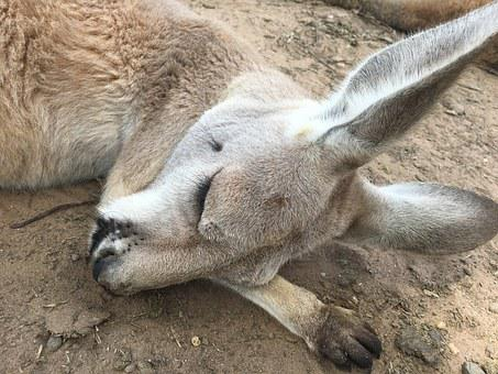 Kangaroo, Her Sleeping Face, Sleep